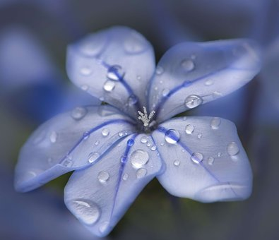 Plumbago, Blue, Raindrops, Close Up, Macro