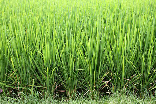 Grass, Rice, Rice Cultivation, Paddy, Green