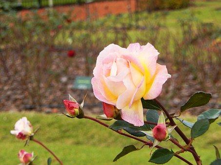 Rosa, Flower, Flower Color Pink, Garden, Beauty