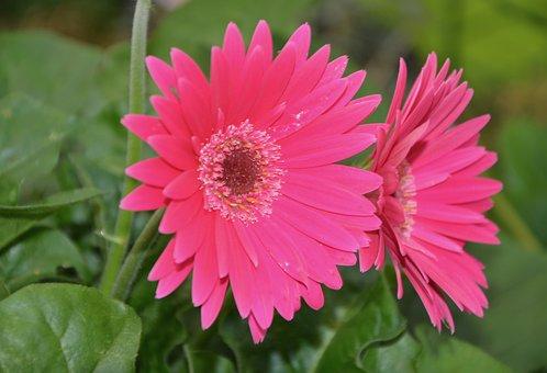 Flower, Marguerite Rose, Green Leaves, Rose Petals