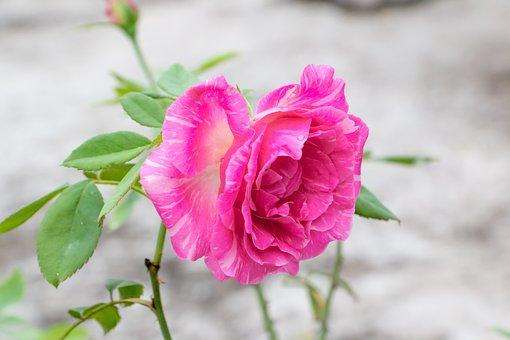 Rose, Pink Rose, Perennial, Flower
