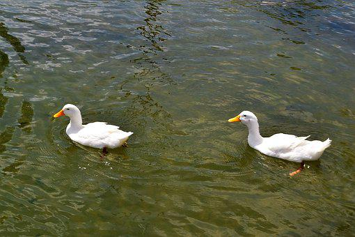School Of Ducks, Duck, Animals, Swimming, Swim, Four, 4
