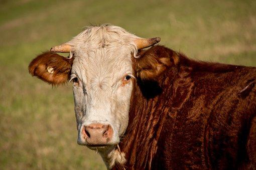 Bull, Cattle, Stock, Brown, White, Face, Horns, Field