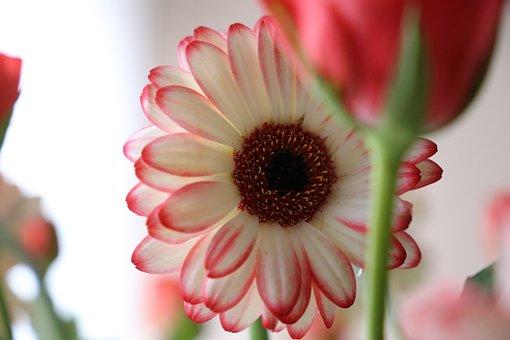 Flower, Gerbera, Focus, Rose, White, Floral, Blossom