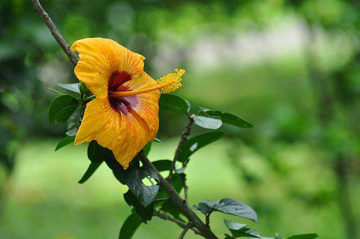 Yellow Hibiscus, Closeup Flower