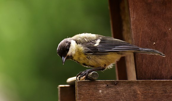 Tit, Food, Peanuts, Feed, Bird, Nature, Garden, Animal