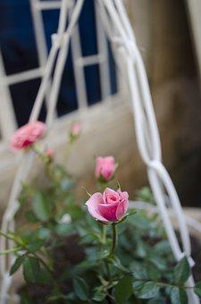 Rosa, Pink Rose, Pink Petals, Nature, Flowers