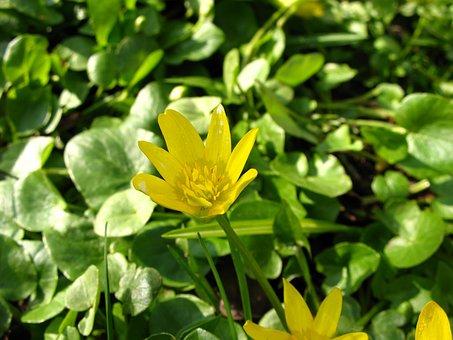 Ficaria Verna, Buttercup Spring, Ficaria, Nature