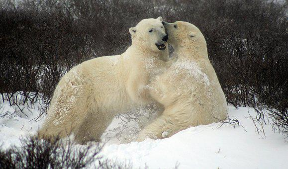 Sparing Polar Bears, Fighting Polar Bears