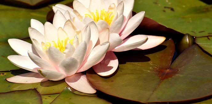 Water Lily, Flower, Water, Aquatic Plant, Flowers