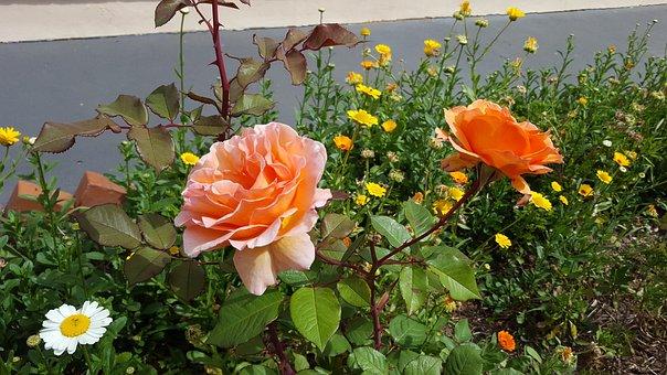 Rosa, Flower, Flowers Oranges