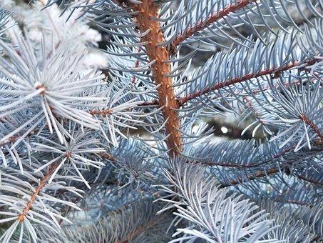 Tree, Winter, Christmas, Pine, Needle, Evergreen, Frost