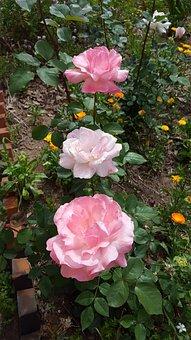 Rosa, Flowers, Garden, Flower Color Pink, Flowers Roses