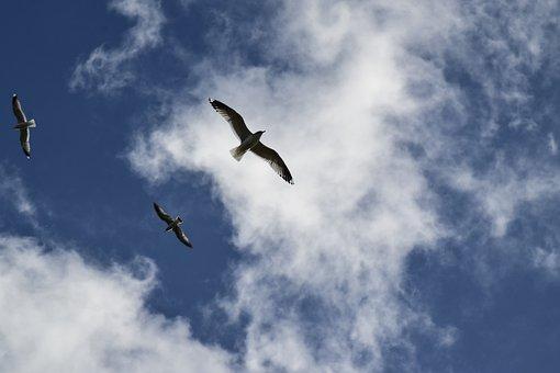 Gulls, Sea Birds, Flying Seagulls