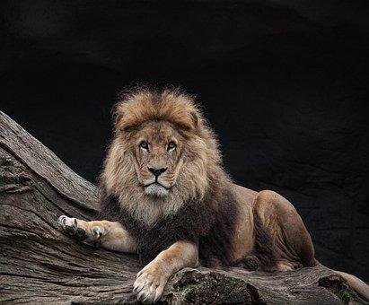 Lion, Males, King, Predator