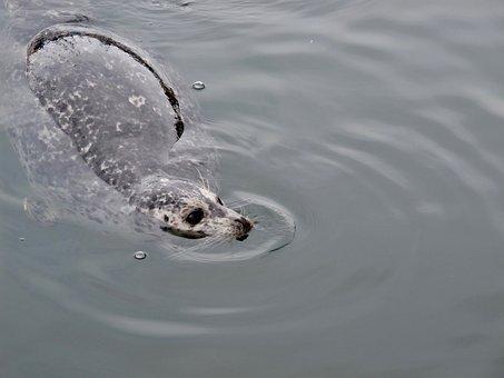 Seal, Water, Mammal, Wild, Marine, Aquatic, Swimming