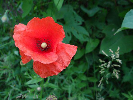 Poppy, Flower, Meadow, Wild, Red, Blooms, Plant