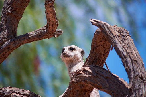 Meerkat, Watch, Guard, Mammal, Supervisor, Zoo