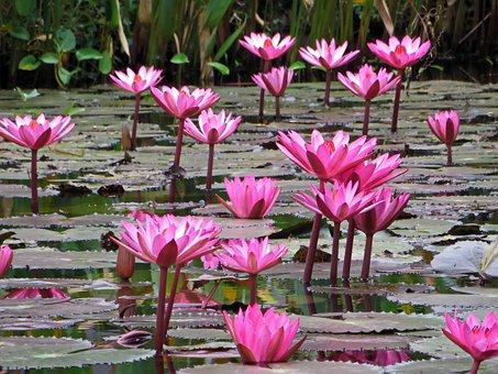 Laos, Lotus, Pink, Pink Flower, Nelumbo Nucifera
