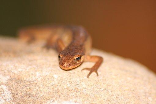 Macro, Lizard, Reptile, Sun, Wall, Pierre, Tanning