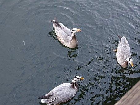 Goose, Duck, Husokachna, A Goose Wild, Nature, Feather