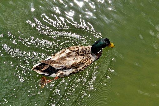 Duck In Water, Treading Water, Waves, Water, Bill, Beak
