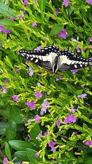 Black, Swallowtail, Butterfly, Green, Insect, Nature