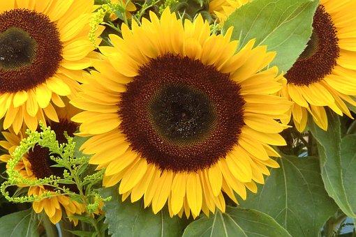 Sun Flower, Nature, Blossom, Bloom, Summer, Yellow