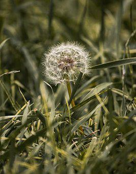 Dandelion, Plant, Green, Grass, Nature, Field, Natural