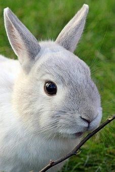 Dwarf Rabbit, Rabbit, Dwarf Bunny, Pet, Animal World