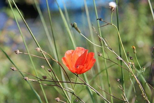 Poppy, Field Flower, Meadow, Klatschmohn, Nature