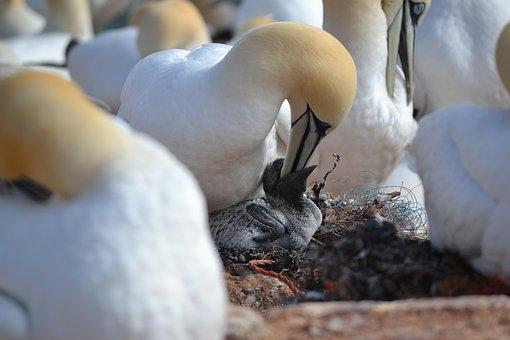 Northern Gannet, Chicks, Breed, Hatching, Bird