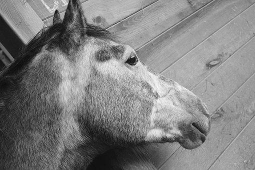 Horse, Head Profile, Plays, Nostril, Mouth, Ears, Mane