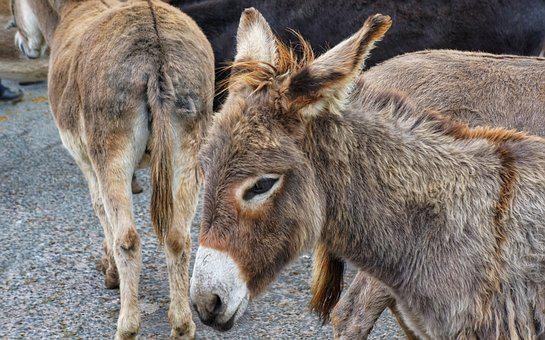 Donkey, Ass, Horse Fair, Ireland