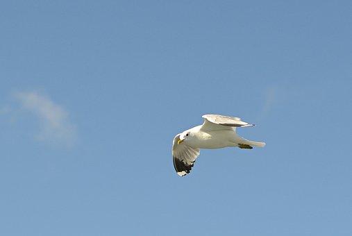Mew Gull, Seagull, Flight, North Sea, Animal, Nature