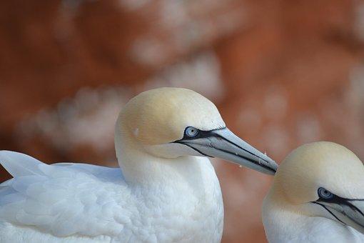Morus Bassanus, Helgoland, North Sea, Bird, Nature