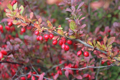 Barberry, Bush, Autumn, Ornamental Shrub, Red Fruits
