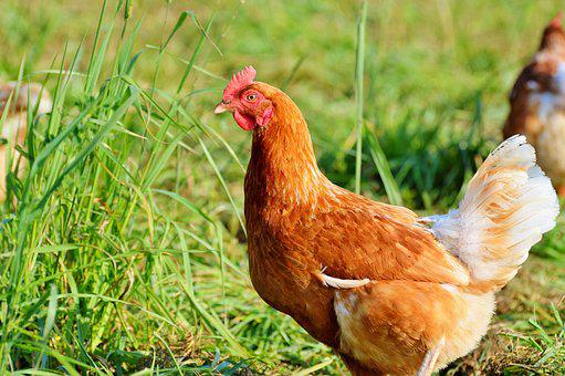Chicken, Hen, Poultry, Free Range, Livestock, Farm