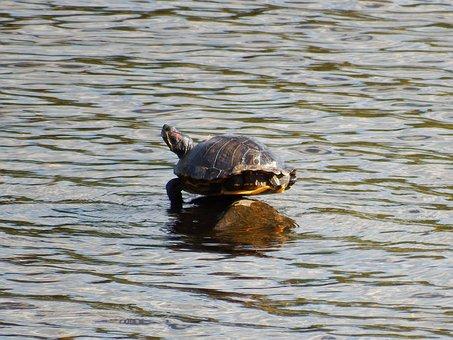 Painted Turtle, Balancing, Rock, Pond