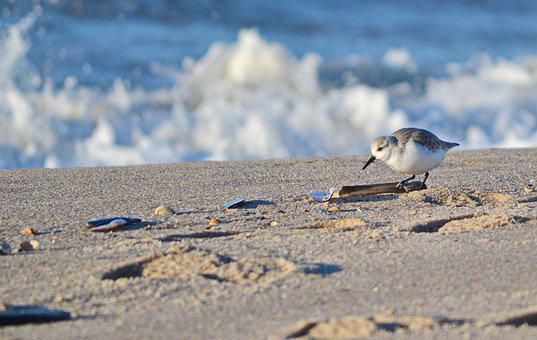 Sanderling, Sea, North Sea, Bird, Beach, Sylt