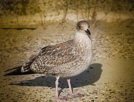Bird, Seagull, Sea, Beach, North Sea