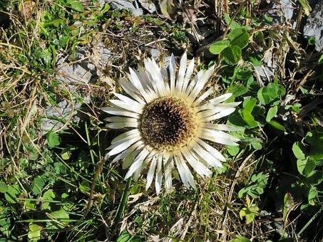 Silver Thistle, Mountain Flower, Flora, Wild Plants