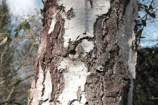 Grain, Tree, Birch