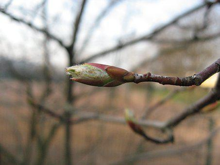 Bud, Branch, Spring, Nature, Plant, Flowers, Tree