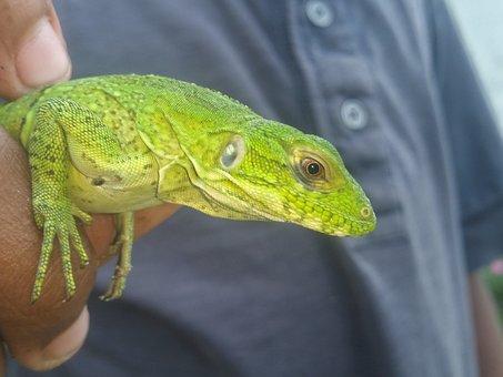 Reptile, Lizard, Nature, Wildlife, Tropical, Dragon