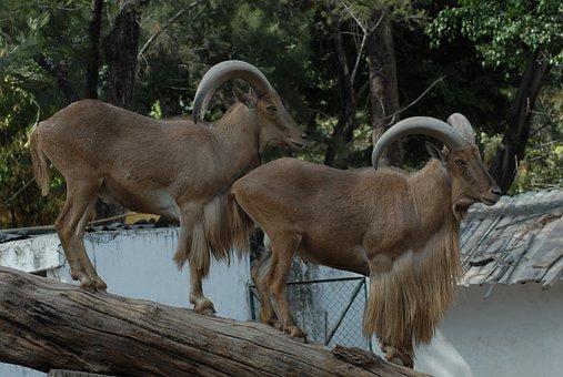 Horns, Animal, Zoo