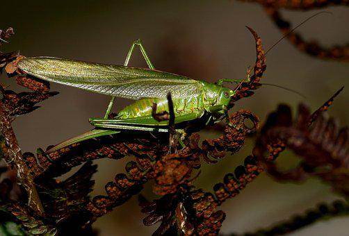 Grasshopper, Insect, Flight Insect, Viridissima, Animal