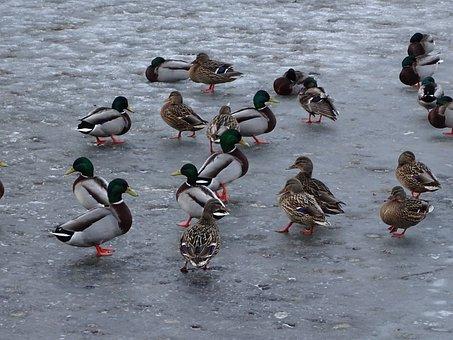 Duck, Ducks, Mallard Duck, Wild, Pond, Bird, Birds