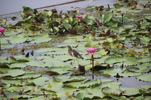 Birds, Red Lotus, Lotus