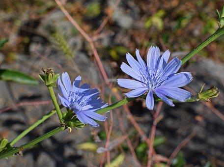 Wild Chicory, Flower, Blossom, Bloom, Wildflower, Plant